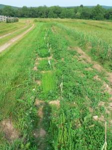 June 12 2015 Amethyst Farm before weeding