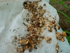 590 seed debris