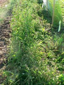 July 24 weeds
