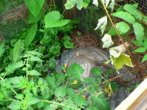 snake in compost bin