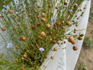 Aug 14 Viking seedpods