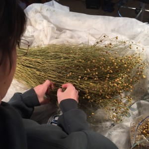separating flax stems