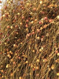 dried flax seed bolls