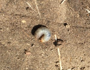 cutworm curled up