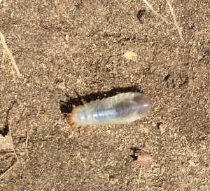 cutworm on the move