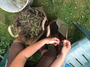 woad seeds July 1 2016