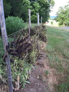 woad seeds June 23 2016